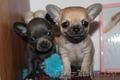 Продаются щенки чихуа - Изображение #2, Объявление #237199