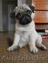 мопса щенок продается, Объявление #1062635