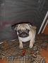 мопса щенок продается - Изображение #2, Объявление #1062635