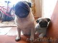 мопса щенок продается - Изображение #4, Объявление #1062635