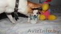 шенки чихуа хау - Изображение #4, Объявление #1070698