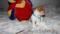 шенки чихуа хау - Изображение #9, Объявление #1070698