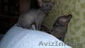 котятки донского сфинкса