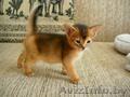 Абиссинские котята,  дорого