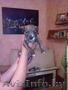 продам щенков стаффа - Изображение #2, Объявление #1098480