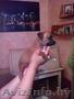 продам щенков стаффа - Изображение #4, Объявление #1098480