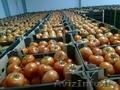 Свежие помидоры +доставка.