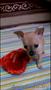 Той-Терьры милые щенки