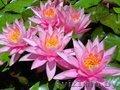 Водная лилия-Нимфея,  розовая,  бордовая и много других различных рас