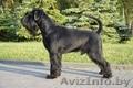 Продам щенков миттельшнауцера черного окраса