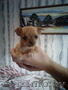 Чихуахуа щенки 1.5 месяца